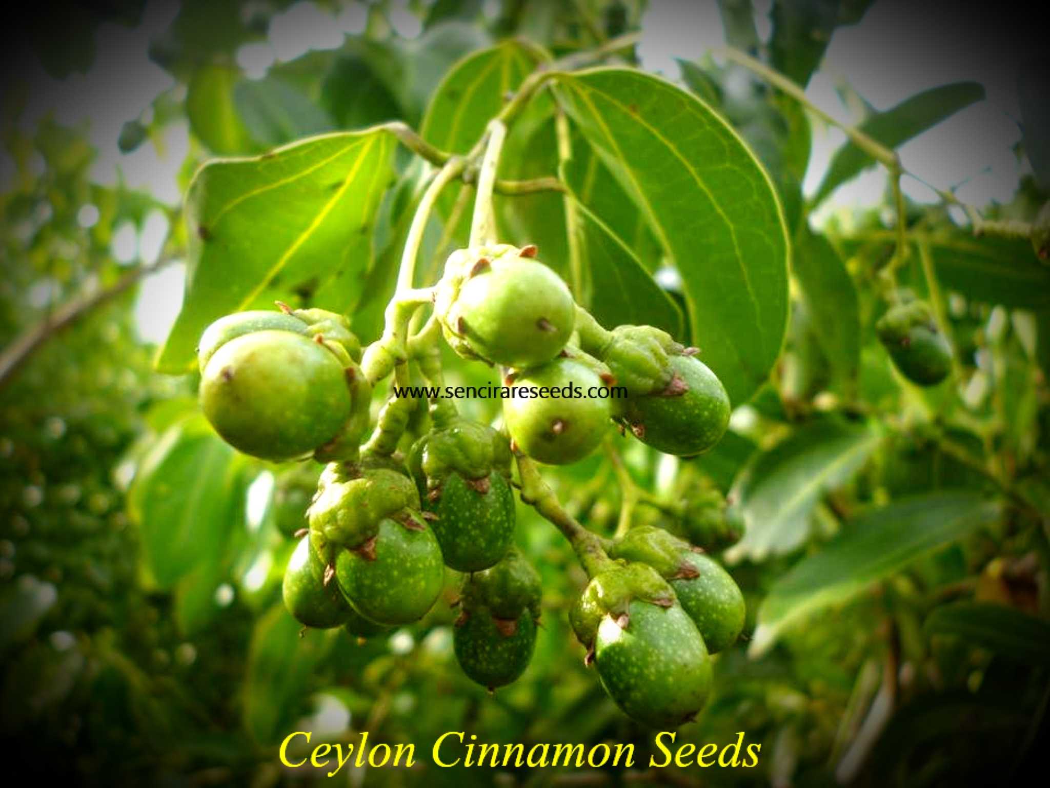 ceylon true cinnamon seeds