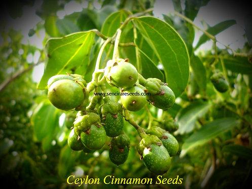 """Ceylon Cinnamon 200 Seeds """"#sencirareseedsarea.com"""""""
