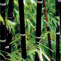 Black Bamboo Seeds