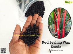 Red Palm Seeds