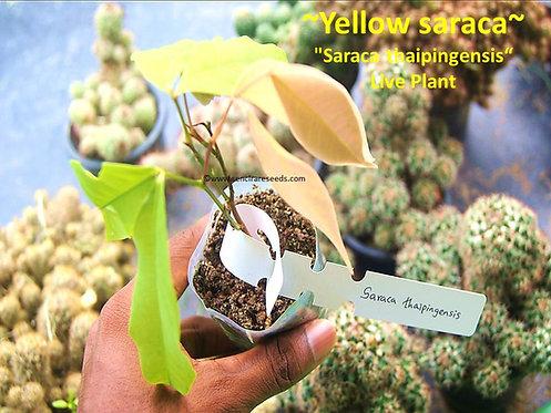 "Saraca thaipingensis,yellow saraca live plant 6""-8"" inches size"