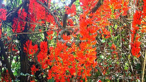 """Red Jade Vine """"Mucuna benettii"""" seeds"""
