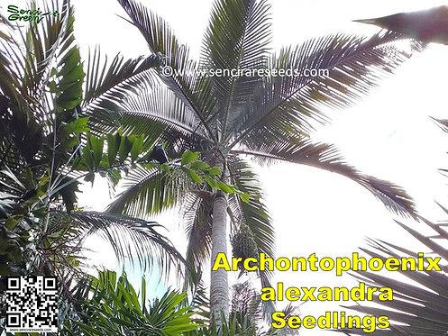 Archontophoenix alexandrae~ Alexandra palm - bangalow / king palm