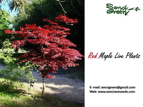 1 feet Red Maple Plants