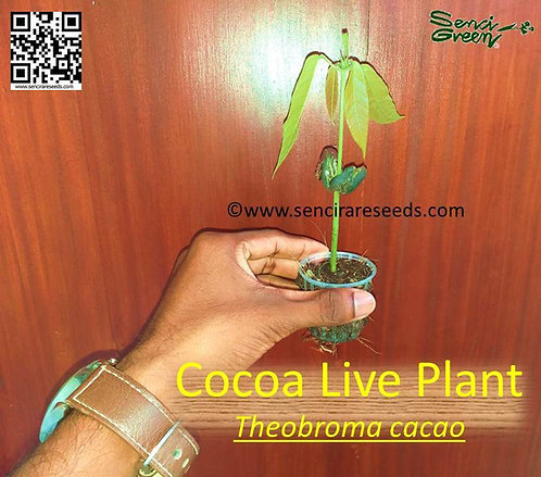 Theobroma cacao / Cocoa live plant- small size 01 live plant with pot