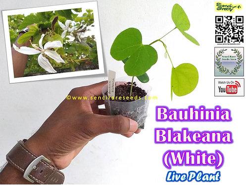 "Bauhinia Blakeana (White) Live plant ""senci rare seeds area"""