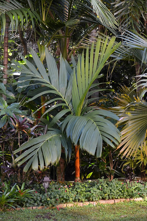 Areca vestiaria palm seeds