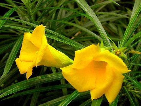 Yellow Kaner