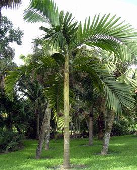Chambeyronia macrocarpa (Hookeri)