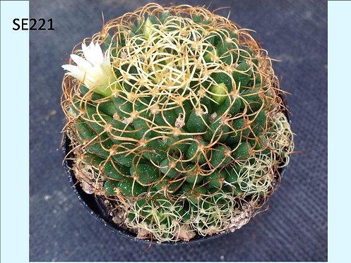 Cactus Plant  SE221