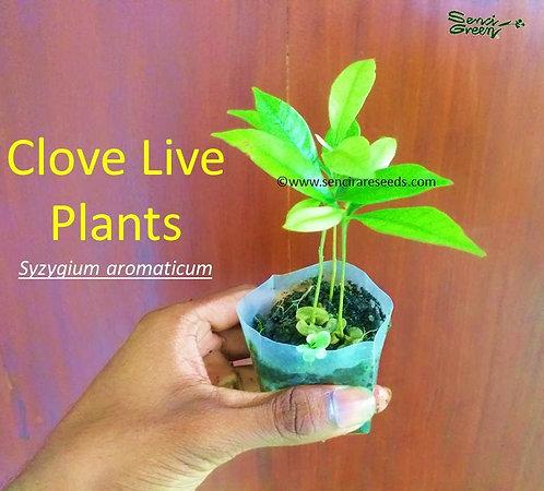 "clove live plant 4"" - 6"" inches size with pot / 01 live plant"