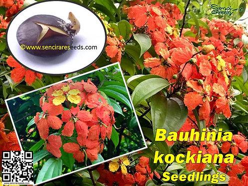 Bauhinia kockiana seedlings- inflamed perennial flora climber / 2 or 5 seedlings