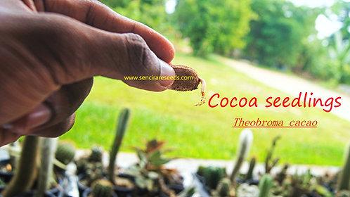 "Cocoa seedlings ""Theobroma cacao"" www.sencirareseeds.com"