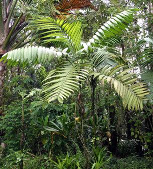 Chamaedorea warscewiczii
