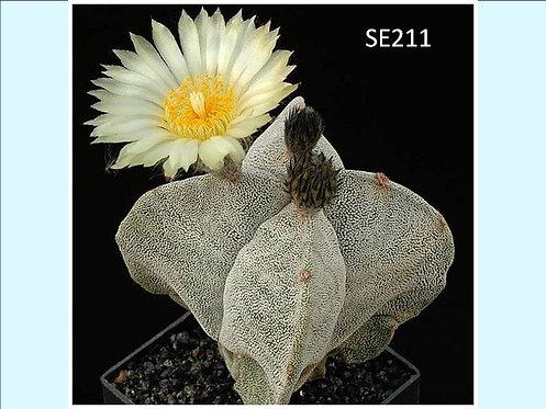 Cactus Plant  SE211