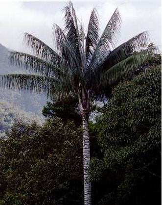 Ceroxylon echinulatum