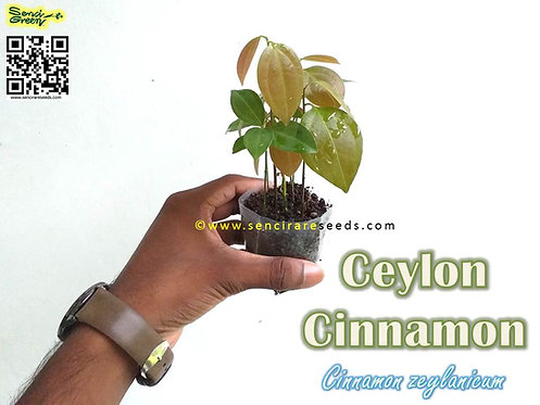 "Ceylon True Cinnamon live plants ""Com-pot"" 5 , 10, 25 plants"