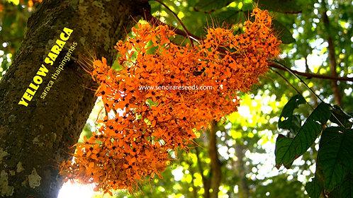 "Yellow saraca ""Saraca thaipingensis"" seeds"