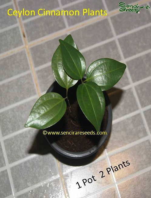 Cinnamomum zeylanicum 2 live plants with pot