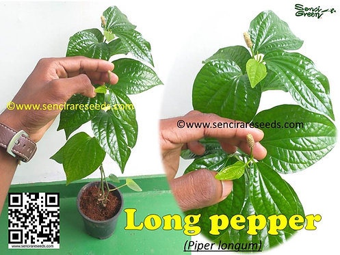 Piper longum Live plants (5 or 10) #Long pepper