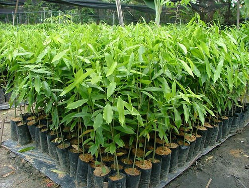 Healthy Agarwood Plants