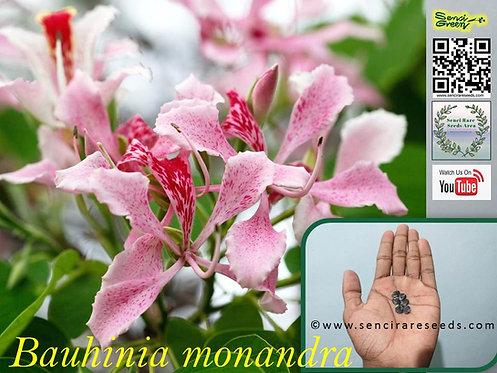 "Bauhinia monandra ""Butterfly Flower"" seeds ""Senci rare seeds area"""