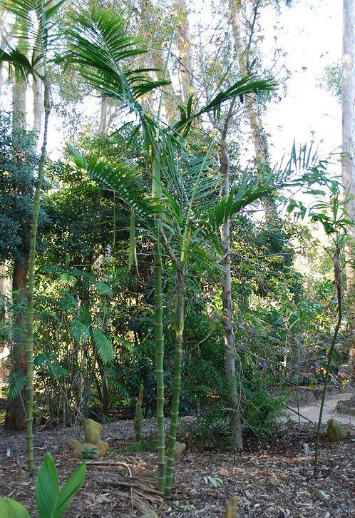 Chamaedorea woodsoniana