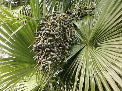 """Chinese fan palm """"Livistona chinensis"""" 100% fresh seeds"""