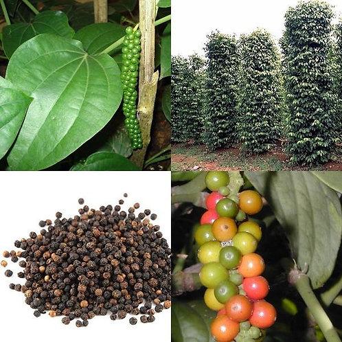 Piper Nigrum - 'Black Pepper'