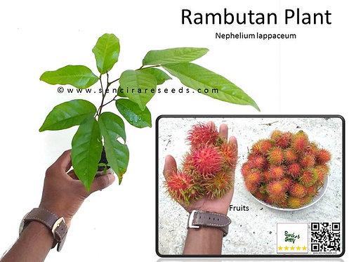 "Rambutan Plant (Nephelium lappaceum) 8""- 12"" Inches size"