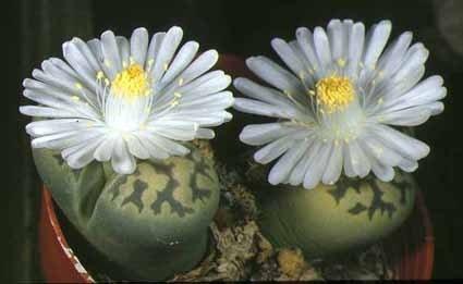 Living Cactus Plant