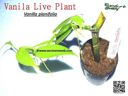 vanilla planifolia (Madagascar Vanilla) live plant
