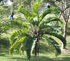 Aiphanes minima (Macaw Palm)