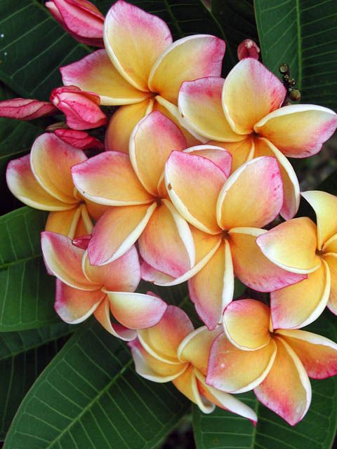 "Plumeria rubra 'California Sunset' 2 or 5 cuttings 12"" size"