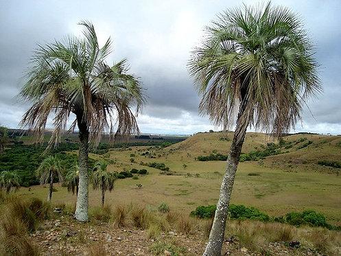 Butia paraguayensis