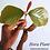 Hora Plant / Dipterocarpus Zeylanicus / RARE Plant