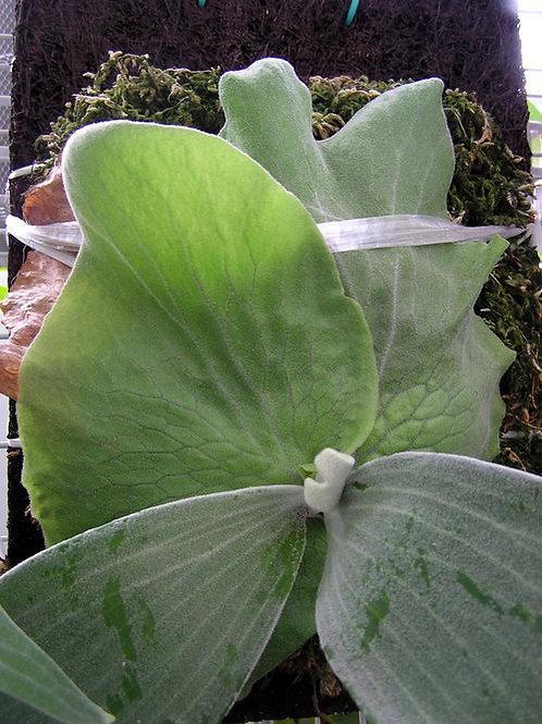 platycerium andinum