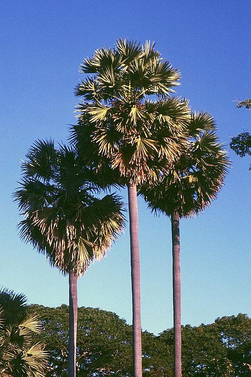 Borassus flabellifer