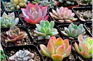 SE003 succulents seeds
