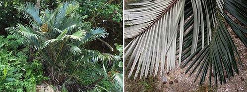 Arenga ryukyuensis