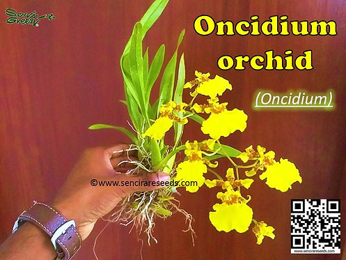 Oncidium orchid / Dancing-lady Orchid 01 Live Plant with flowers