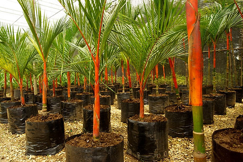 "Red sealing wax palm seedlings ""Cyrtostachys renda"""