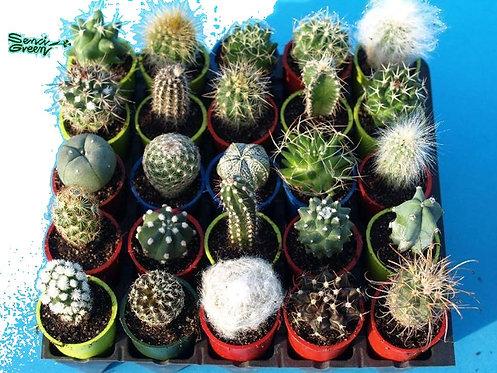 Set of 35 Cactus plants