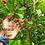 Miracle fruit  (Synsepalum dulcificum) 100% FRESH seeds