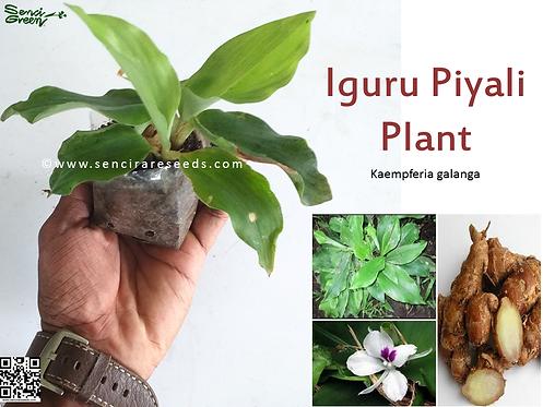 "Inguru Piyali (Kaempferia galanga) Live Plant ""senci rare seeds area"""