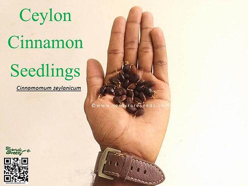 """Ceylon cinnamon seedlings """"Cinnamomum zeylanicum"""""""