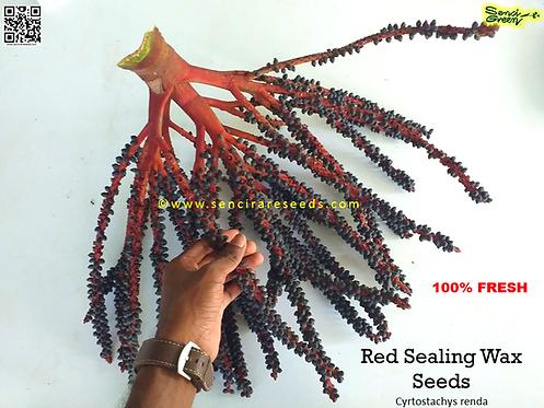 "Red sealing wax palm seeds ""Cyrtostachys renda"" (Wholsale)"