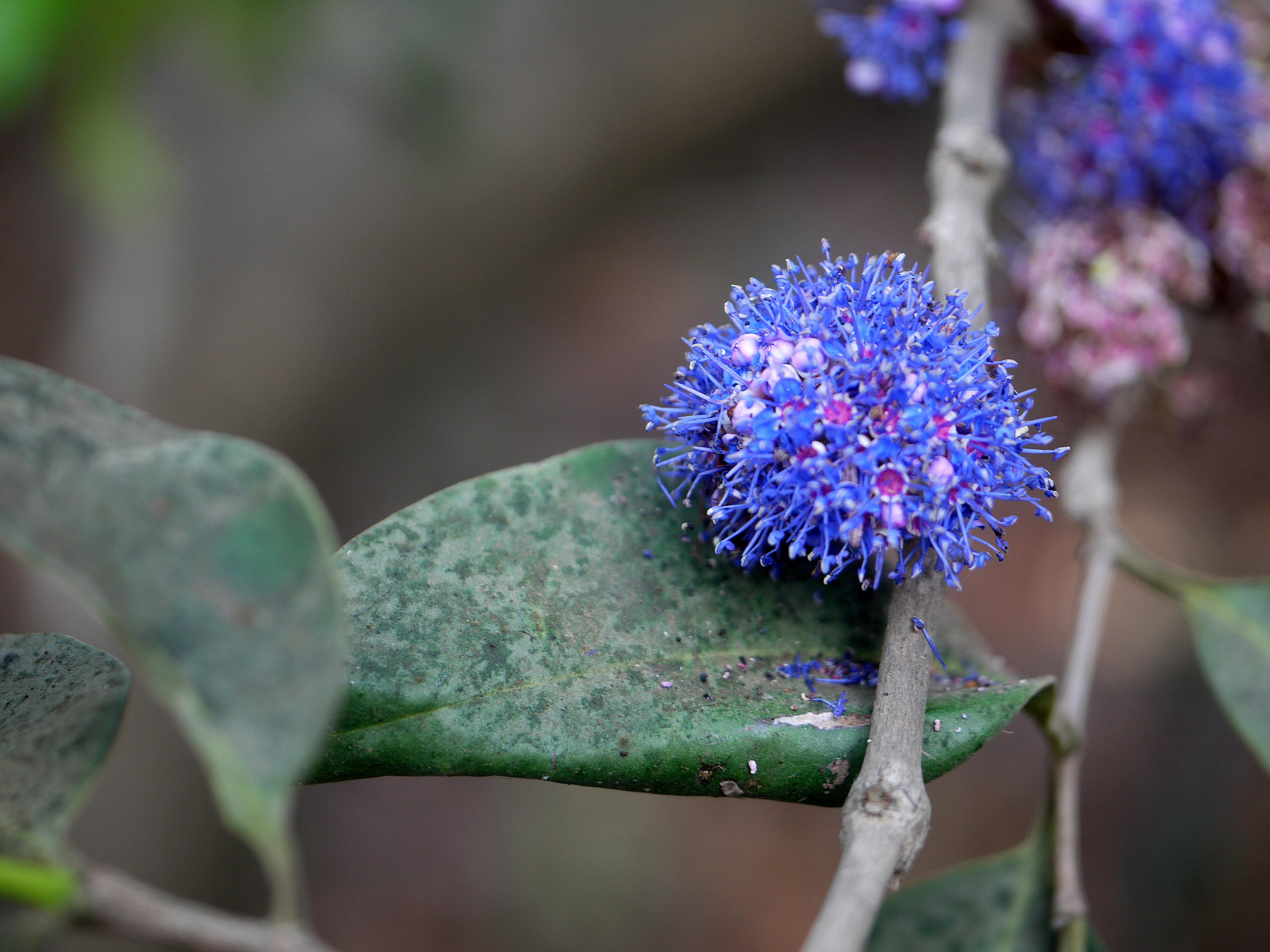 Memecylon Umbellatum seeds