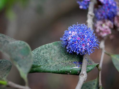 "Memecylon umbellatum ""Delek air "" 100% fresh seeds ""senci rare seeds area"""