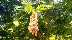 Brownra grandiceps